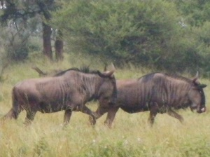 Wildebeest at Thakadu Lodge